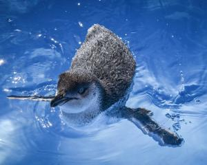 A white-flippered penguin uses the rehabilitation pool at the Oamaru Blue Penguin Colony. White...