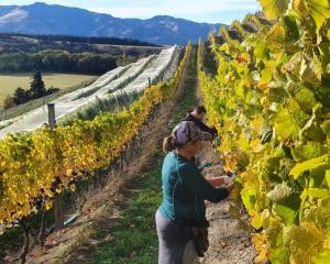 Keeping their distance ... Maude Wines grape picker Ian Thomas and viticulturist Pip Feyen work...