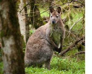 More than 4000 wallabies were shot during the 30th annual wallaby hunting competition. Photo:...