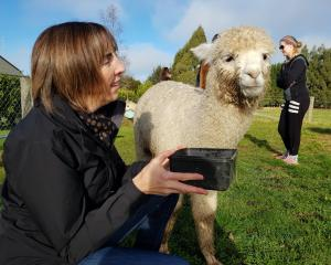 Invercargill woman Helen McEwen feeds Burns, the alpaca, at Kepler Mountain View Alpacas in Te...