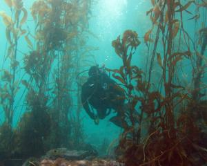 A diver swims through a kelp forest in Rakiura, Stewart Island. Photo: Chris Hepburn