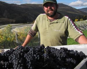 Peregrine viticulturist Nick Paulin at the winery's Gibbston vineyard yesterday.  Peregrine has...