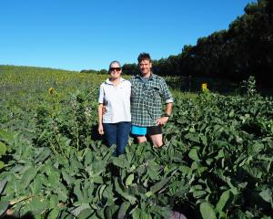 Sunflower Trials...As part of their interest in regenerative farming, Tuturau sheep farmers Megan...