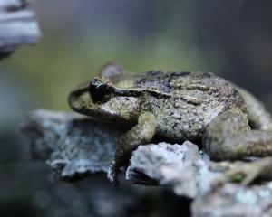 Maud Island frog. Photo: Orana Wildlife Park