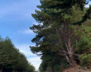 The trees are decaying and needed to be removed by the start of winter NZTA says. Photo: NZTA