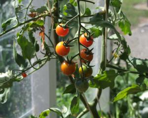 Tomatoes can now be planted in unheated greenhouses. Photo: Gillian Vine.