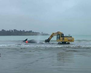 One of the diggers creating a channel from where the whale had sunk into the sand out towards the...