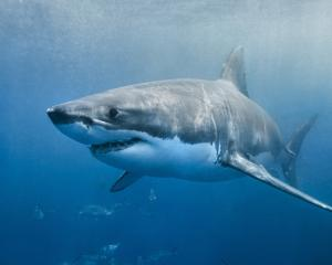 A great white shark. PHOTO: SUPPLIED