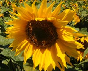 Helianthus annuus. PHOTO: SUPPLIED