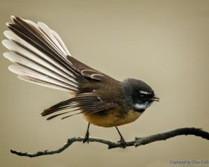 The fantail does not cope very well in harsh winters as, being so small and fragile, they can not...
