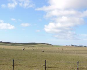 Pasture looks sparse on this sheep farm near Totara in North Otago. Photo by Sally Brooker