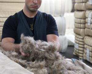 This handful of possum fur will eventually be blended with merino fleece to make Perino, a super...