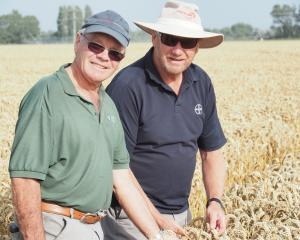 Wakanui farmer Eric Watson (left) and David Weith, of Bayer, inspect the world record wheat crop...