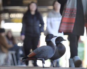Daring duck duo undaunted by Dunedin denizens. PHOTO: GERARD O'BRIEN