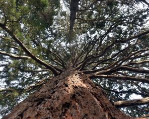 Sequoiadendron giganteum in Dunedin Botanic Garden. PHOTO: PETER MCINTOSH