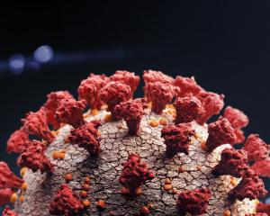 "The virus attaches itself to lung cells by binding its outer ""spike"" proteins, something which..."