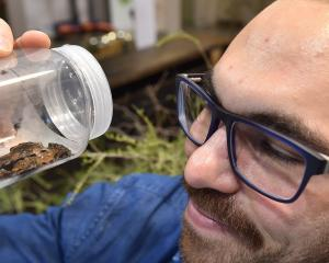 University of Otago zoology PhD candidate Joe Altobelli examines a rare Maude Island frog at a...