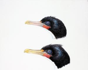 From top: Foveaux shag, Otago shag, and Chatham Island shag. ILLUSTRATION: DEREK ONLEY