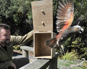Orokonui ranger Elton Smith releases a kaka late last year. Photo: Christine O'Connor