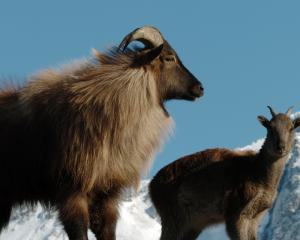 A radical solution to deal with the tahr problem is to involve the military. Photo: Stephen Jaquiery
