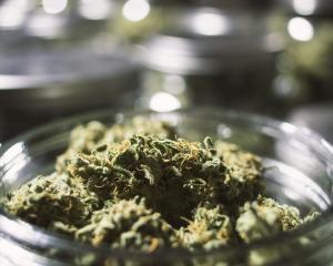 "The public will vote on legalising cannabis for personal use on September 19, but a majority ""yes..."