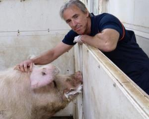 North Canterbury-based pig vet Dr Bruce Welch says the New Zealand pork industry is in good...
