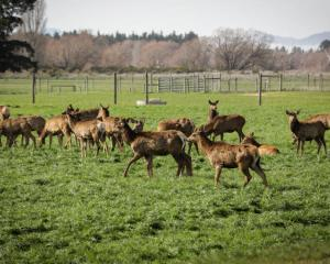 With winter drawing to a close here, many of New Zealand's 1400 deer farmers have been focused on...
