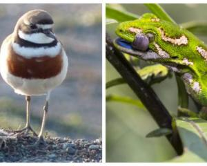 The banded dotterel and the jewelled gecko are among species expected to benefit from more...