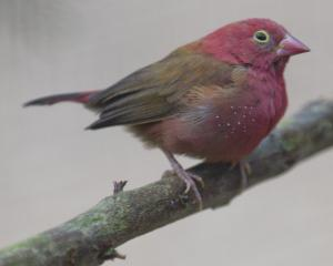 The Dunedin Botanic Garden aviary has recently welcomed a flock of African fire finches.PHOTO:...