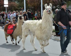 Greg Leng, of Palmerston, leads his llamas in the procession.