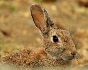 A Central Otago rabbit. PHOTO: STEPHEN JAQUIERY