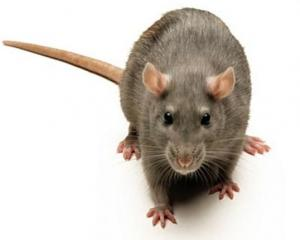 rats_move_indoors_for_the_good_life_in_food_outlet_2046609970.jpg