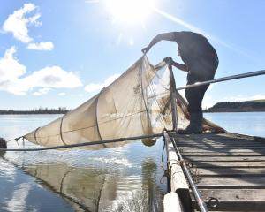 A whitebaiter checks a net on the Clutha Mata-au. PHOTO: PETER MCINTOSH