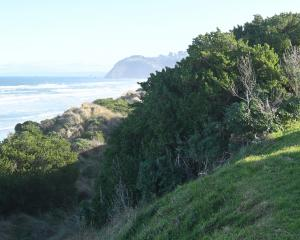 Dark green mounds of taupata spreading over the sand dunes beside John Wilson Ocean Drive at St...