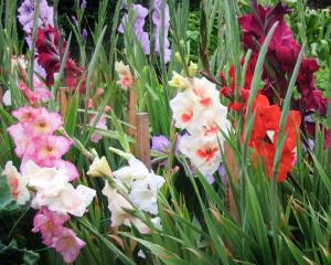 A patch of gladioli in a Dunedin garden. Photos: Gillian Vine