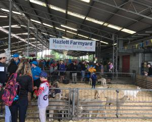 Hazlett Livestock junior livestock representatives help out in the Hazlett Farmyard at last year...