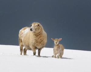 Many southern farmers have been battling with snowy conditions this week with spring lambs'...