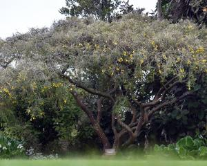 Sophora molloyi 'Early Gold' in the Dunedin Botanical Garden.PHOTO: PETER MCINTOSH