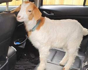Dean enjoys the odd ride in the car to the supermarket and vet. Photo: Supplied via NZH