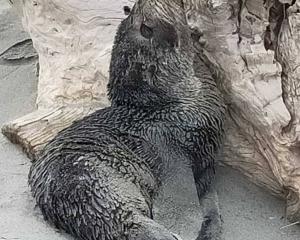 The seal on Waimairi Beach this week. Photo: Mike Dixon