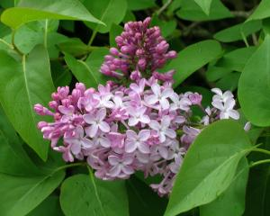 Lilac gets its name from the most common flower colour.