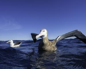 Antipodean albatross in the Pacific Ocean, New Zealand. Photo: Getty Images