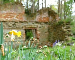 A solitary daffodil with crumbling brickwork behind at the Hart's Black Horse Brewery in...