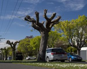 A pollarded tree on Claremont St, Maori Hill. PHOTO: GERARD O'BRIEN