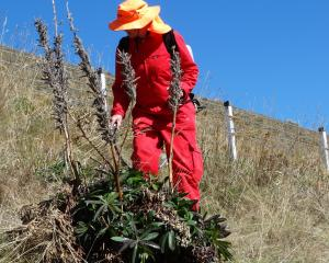 Anne Steven sprays Russell lupins alongside State Highway 8, the Lindis Pass.