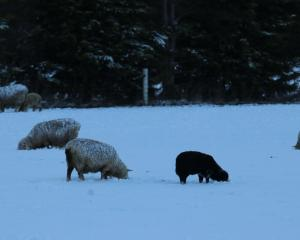 Sheep and lambs forage in the snow for grass near Riversdale on Tuesday morning. PHOTO: SANDY...