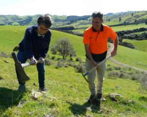 Hurunui Mayor Marie Black grubs Nassella tussock at Greta Valley. Photo: Supplied
