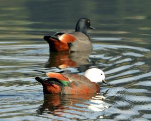 A pair of paradise shelducks. Photo: Stephen Jaquiery