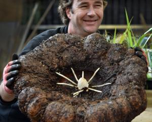 Dunedin Botanic Garden plant collection curator Stephen Bishop holds the corpse plant which has a...