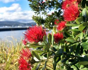 A pohutukawa, known as New Zealand's Christmas tree, blooms in sunny Shore St, in Andersons Bay,...